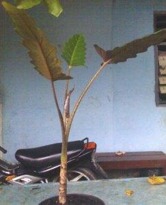 Keris Papua 02