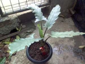 Keris Papua 03